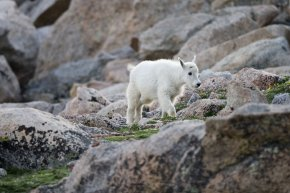 a mountain goat child on Mount Evans near Idaho Springs, CO