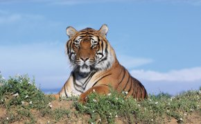 A tiger within Wild Animal Sanctuary outside Denver in Keensburg, CO